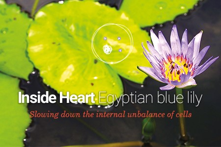 Plant cells from Egyptian blue lily for an anti-wrinkle effect